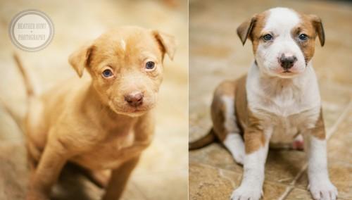 shep mix pups