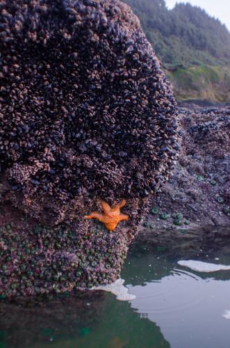 starfish at Cape Perpetua