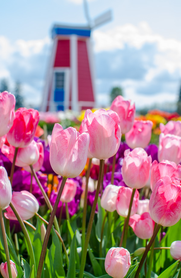Pink tulips at Wooden Shoe Tulip Farm
