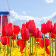 Adventures in Oregon: Wooden Shoe Tulip Farm