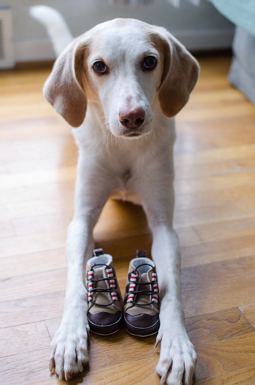 dogswithbabyshoes-3